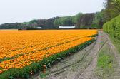 Tulip field — Stock Photo