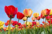 Tulipani colorati — Foto Stock