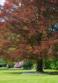Copper beech tree — Zdjęcie stockowe