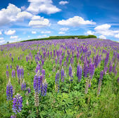 Purple lupine flowers — Stock Photo