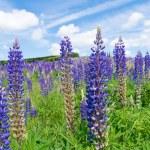 Purple lupine flowers — Stock Photo #51620043