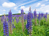 Purple lupine flowers — Foto de Stock