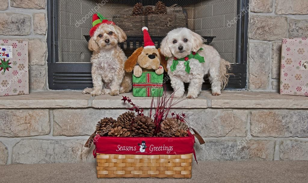 Maltese - Toy Poodle Mix (Maltipoo) and Maltese - Yorkie Mix (Morkie)  puppies On Christmas — Stock Photo #12251605