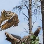 Eurasion Eagle Owl In Flight — Stock Photo