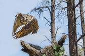 Eurasion Eagle Owl In Flight — Stock Photo