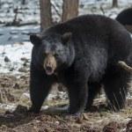 Black Bear — Stock Photo #24799107