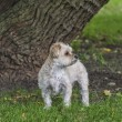 Stock Photo: Morkie Puppy