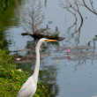 White egret near lake — Stock Photo #12684545