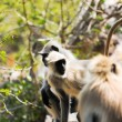 Indian langurs at the hillside pathway — Stock Photo