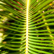 Sago palm leaves close up — Stock Photo