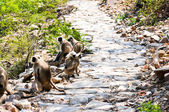 Rhinopithèque indien sur le sentier de la colline — Photo