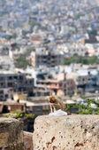 Mono macaco con bolsa de plástico en jaipur — Foto de Stock