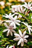 Cluster of jasmine flowers in hdr — Stock Photo