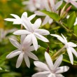 Cluster of jasmine flowers — Stock Photo