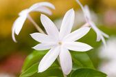 Jasmine flower extreme close up — Stock Photo