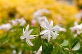 Two Jasmine flowers close up — Stock Photo