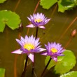 Blue water lily flowers in  a pond — Lizenzfreies Foto