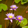 Blue water lily flowers in  a pond - Stock Photo