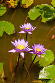 Blue water lily flowers in a pond — Stock Photo