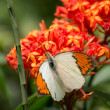 The Great Orange Tip butterfly, Hebomoia glaucippe, feeding on Ixora flowers extreme close up — Stock Photo