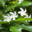 Stock Photo: Crepe Jasmine flowers blooming in garden. It is also known as Pinwheel Jasmine.