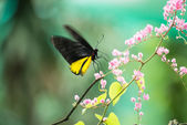 Common birdwing butterfly or Troides Helena feeding on pink flower while fluttering its wings. — Stock Photo