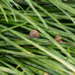 Garden snails with operculums sliding on grasses after rain — Stock Photo #29988713