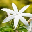 Jasmine flower extreme close-up — Stock Photo