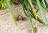 Garden snails with operculums racing after rain. — Stock Photo