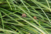 Garden snails with operculums sliding on grasses after rain — Stock Photo