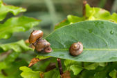 One snail is on top of another snail with operculum while it sliding away — Stock Photo