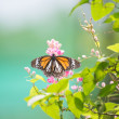 Stock Photo: Black Veined Tiger butterfly on pink Coral Vine flowers