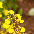 Stock Photo: Dancing lady orchid oncidium close up