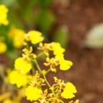 Dancing lady orchid oncidium close up — Stock Photo