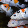 Stock Photo: Koi carp fishes close up