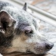 Old dog close up — Stock Photo #30535201