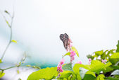 Dark Blue Tiger butterfly perching on flowers overlooking the blue sky — Stock Photo