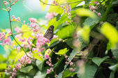 Dark Blue Tiger butterfly on pink Coral Vine flowers — 图库照片