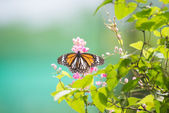 Black Veined Tiger butterfly on pink Coral Vine flowers — Stock Photo