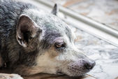 Old dog close up — Stock Photo