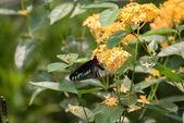 Rajah Brooke butterfly feeding on Ixora flowers close up — Stock Photo