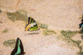 Five-bar swordtail butterfly with broken tails seen puddling on — Stock Photo