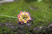 Lantana flower on green moss rock background — Stock Photo