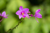 Spathoglottis Plicata orchid in the garden. It is also known as — Stock Photo