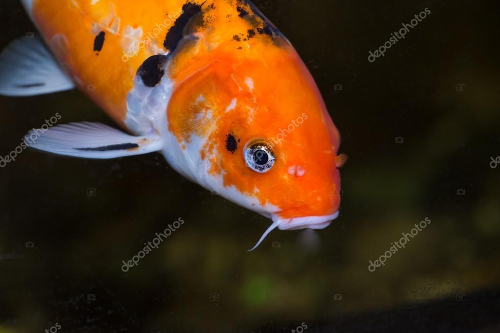 pez carpa koi extrema cerrar u foto de stock