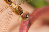 Wandering glider golden dragonfly on a leaf extreme close up — Stock Photo