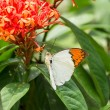 Great Orange Tip butterfly on Ixora flowers — Stock Photo