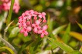 Panama rose or Rondeletia leucophylla flowers close-up — Stock Photo