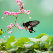 The Common Rose butterfly feeding on pink flowers close up — Stock Photo