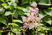 Redspot Sawtooth butterfly on pink flowers — Stock Photo
